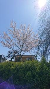 桜の木0331